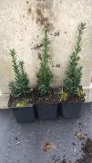 cis-posredni-hicksii-taxus-media-3000-szt.jpg