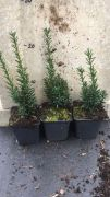 cis-posredni-hicksii-taxus-media-50-szt.jpg