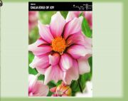 dahlia-dalia-edge-of-joy-1-szt.jpg