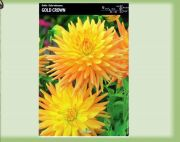dahlia-dalia-gold-crown-1-szt.jpg