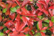 glogownik-frasera-little-red-robin-photinia-fraseri-little-red-robin-1000-szt.jpg