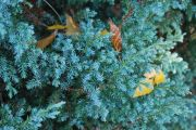 jalowiec-chinski-blue-alps-juniperus-chinensis-blue-alps-1000-szt.jpg