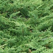 jalowiec-chinski-green-carpet-juniperus-chinensis-green-carpet-1000-szt.jpg