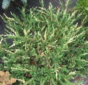jalowiec-chinski-spotty-spreader-juniperus-chinensis-spotty-spreader-1000-szt.jpg