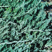 jalowiec-luskowaty-blue-carpet-juniperus-squamata-blue-carpet-1000-szt.png