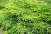 jalowiec-pfitzera-gold-star-juniperus-pfitzeriana-gold-star-1000-szt.png