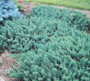 jalowiec-plozacy-blue-chip-juniperus-horizontalis-blue-chip-1000-szt.jpg
