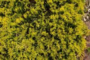 jalowiec-plozacy-golden-carpet-juniperus-horizontalis-golden-carpet-1000-szt.jpg