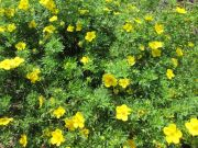 pieciornik-krzewiasty-gold-drop-potentilla-fruticosa-gold-drop-1000-szt.jpg