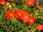 pieciornik-krzewiasty-red-ace-potentilla-fruticosa-red-ace-1000-szt.jpg