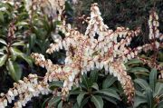 pieris-japonski-mountain-fire--pieris-japonica-mountain-fire-1000-szt.jpg