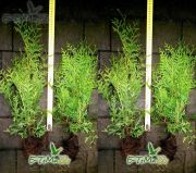 thuja-brabant-45-cm-ground-wholesale.jpg