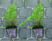 thuja-smaragd-20-30-cm-in-pot-wholesale.jpg