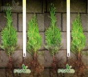 thuja-smaragd-35-cm-ground-wholesale.jpg
