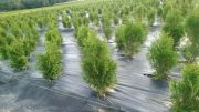 thuja-smaragd-70-cm-our-transport.jpg