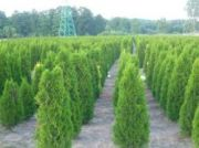 thuja-smaragd-80-100-cm-our-transport.jpg