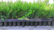 thuja-smaragd-seedlings-of-15-cm-multiplate.jpg