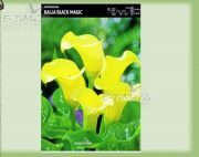 zantedeschia-kalla-black-magic-1-szt.jpg