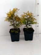zywotnik-zachodni-golden-glob-thuja-occidentalis-50-szt.jpg