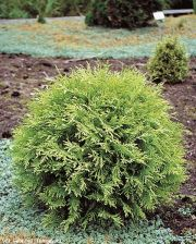 zywotnik-zachodni-golden-globe-thuja-occidentalis-golden-globe-1000-szt.jpg
