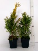 zywotnik-zachodni-janed-gold-thuja-occidentalis-50-szt.jpg