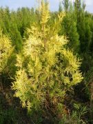 zywotnik-zachodni-yellow-ribbon-thuja-occidentialis-1000-szt.jpg