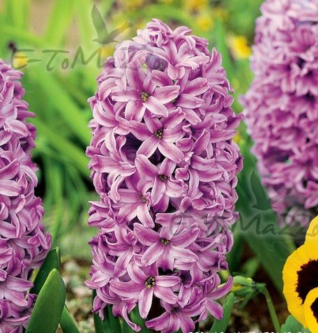 http://e-iglaki.pl/files/hyacinthus-hiacynt-aladdin-1-szt-promocja!!!-bulwy-cebule-klacza-nasiona.jpg